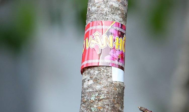 """Xe đào rừng dán tem đầu tiên ở Sơn La """"đổ bộ"""" Hà Nội với giá hơn 10 triệu đồng/cây - 1"""