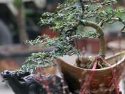 Bonsai mini giá chỉ từ 100.000 đồng hút khách rinh về chơi Tết