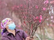 """Nông dân trồng đào Nhật Tân """"đứng ngồi không yên"""" khi dịch COVID-19 bất ngờ bùng phát mạnh"""