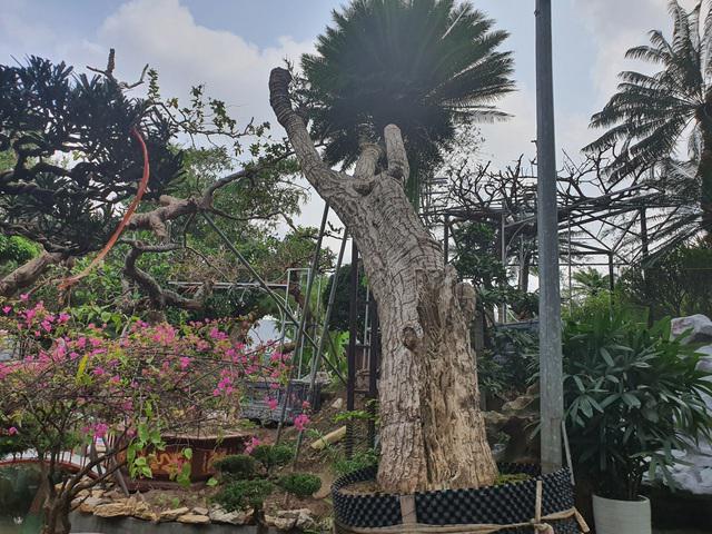"""Ngắm cây vạn tuế có dáng """"cong mềm mại"""" chủ vườn chào giá khủng - 1"""