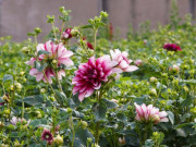 Vườn thược dược của ngoại ngày Tết