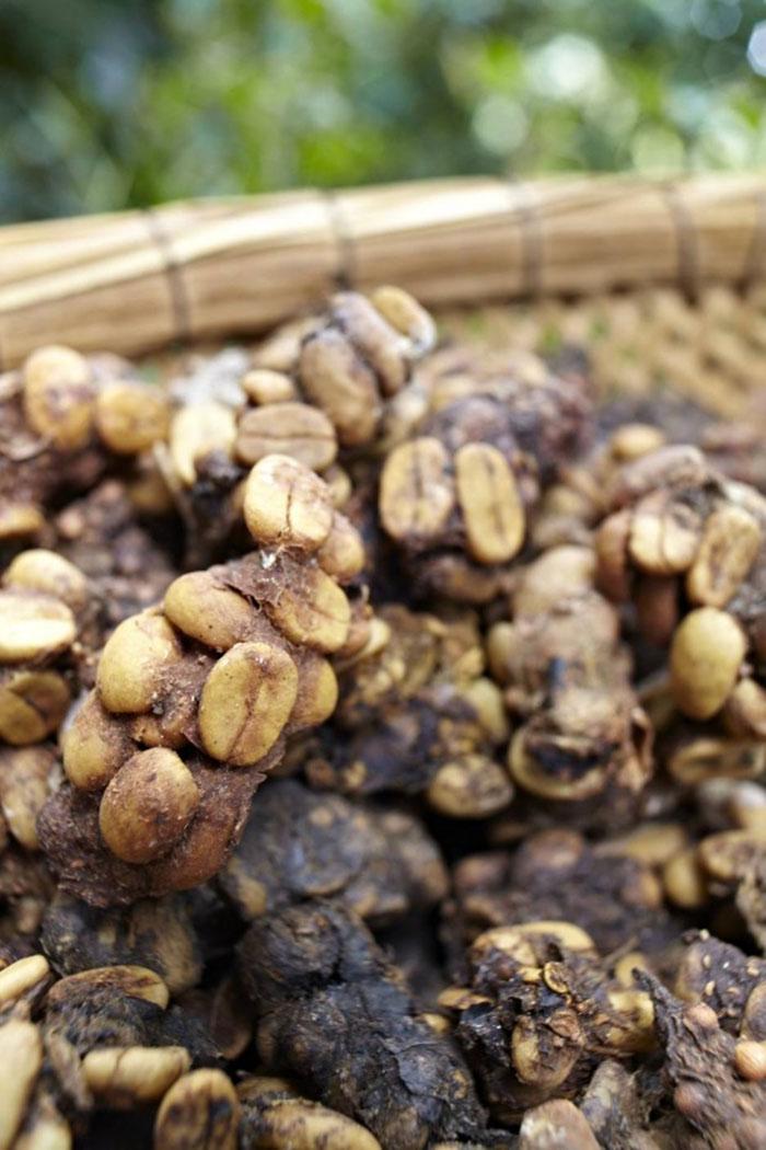 Món đồ uống có nguồn gốc từ phân chim, còn đắt hơn cả cà phê chồn - 2