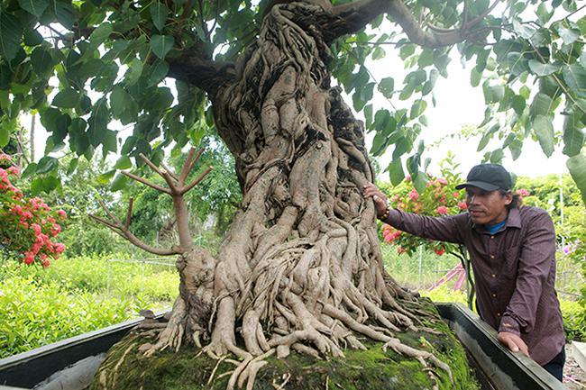"""Chiêm ngưỡng cây bồ đề có bộ rễ """"ảo diệu"""" - 1"""
