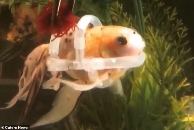 """Con cá duy nhất trên thế giới phải """"mặc"""" áo phao để bơi - 1"""