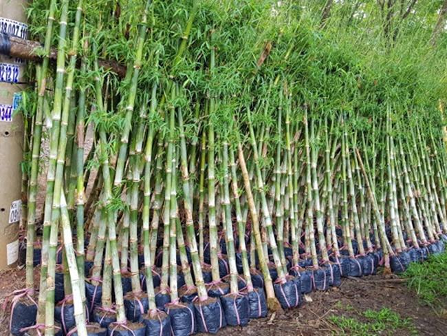 Tầm vông có nhiều ưu điểm như rất suôn chắc, giá thành hợp lý nên đầu ra của loại cây trồng này ổn định.