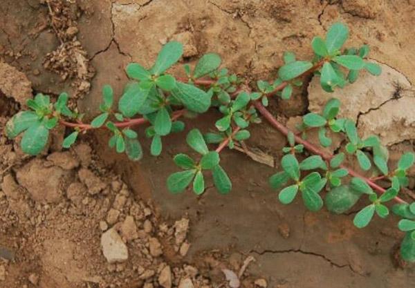 Loại rau dại mọc rất nhiều ở vùng quê, vừa giải độc vừa làm đẹp nhưng cần chú ý 5 điều - 2