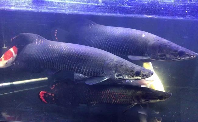 Một số người nuôi cho biết, việc nuôi cá hải tượng rất tốn kém, đặc biệt là chi phí thức ăn vì chúng chỉ ăn những động vật sạch. Nếu thức ăn bị ươn hôi, cá hải tượng ăn vào sẽ bơi lội chậm chạp, vài ngày sau sẽ tử vong.