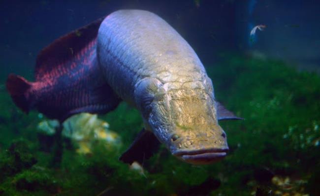 Cá từ 4 đến 5 năm tuổi có thể đạt đến gần 100kg và có thể sinh sản, mỗi lứa có thể đẻ tới 180.000 trứng.