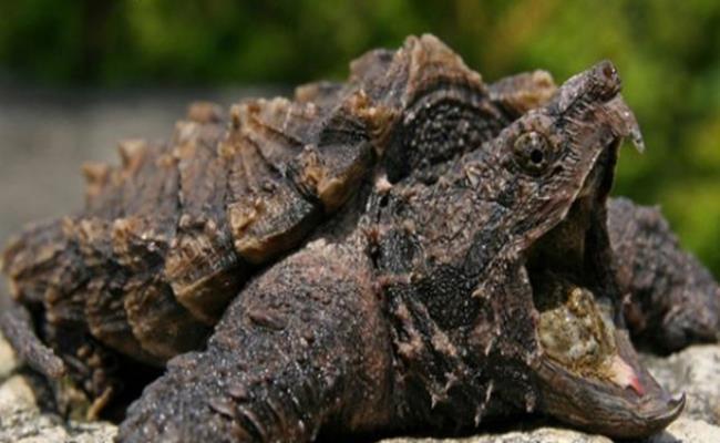 Rùa khủng long cổ đại có thân hình giống như khủng long thời cổ đại đang gây sốt trong giới chơi thú cưng ở Việt Nam.