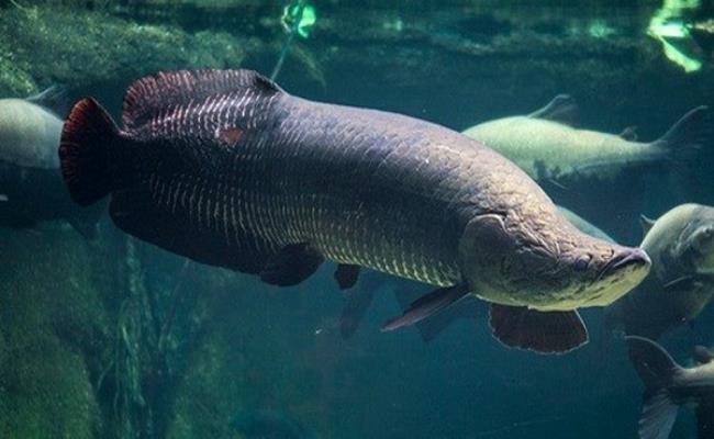 Cá hải tượng có thể đạt đến độ dài hơn 2m, thậm chí có những con dài hơn 2,5m với trọng lượng trung bình lên tới 1.000kg, thậm chí đã từng phát hiện có con dài tới 4m nặng 2.000kg.