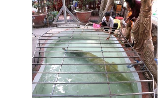 Mỗi tháng, người chủ phải mua 6 triệu đồng tiền cá, chủ yếu là cá trê để cho cá hải tượng ăn.