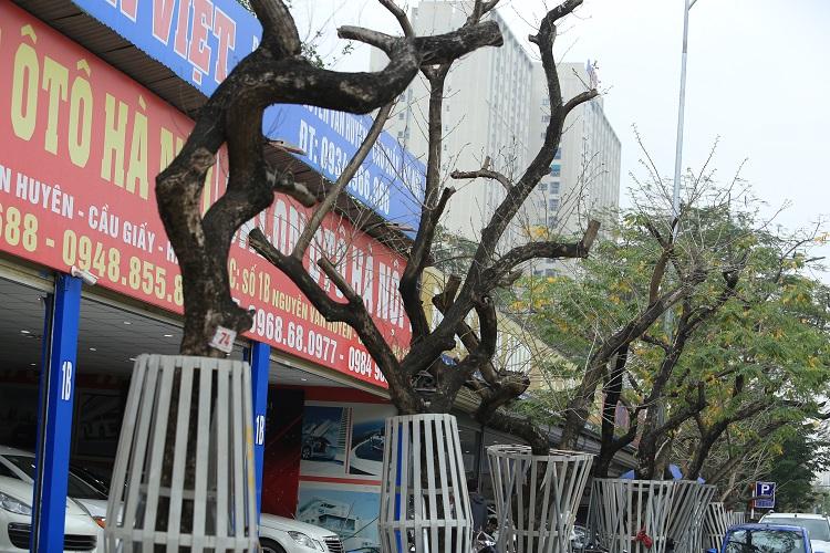 Nhiều cây sưa đỏ tiền tỷ ở Hà Nội chết khô sau thời gian dài truyền dịch - 1