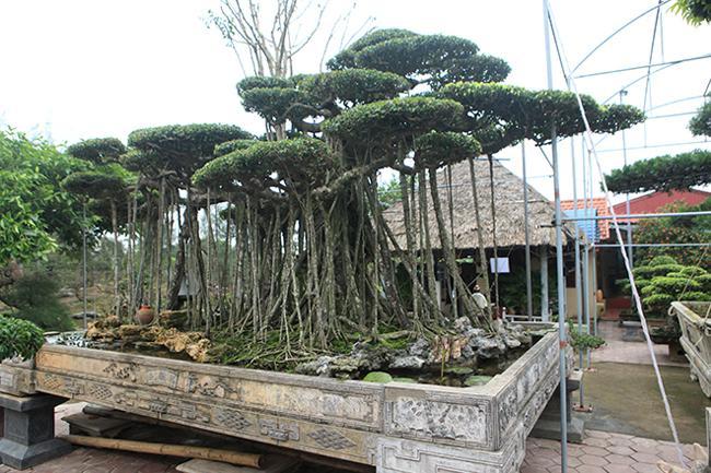 Choáng váng cây sanh cổ rễ đan như phím đàn, chủ nhân tuyên bố 10 tỷ mới bán - 1