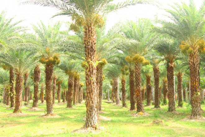 Ngất ngây với vẻ đẹp của vườn chà là ở Sa Đéc - 10