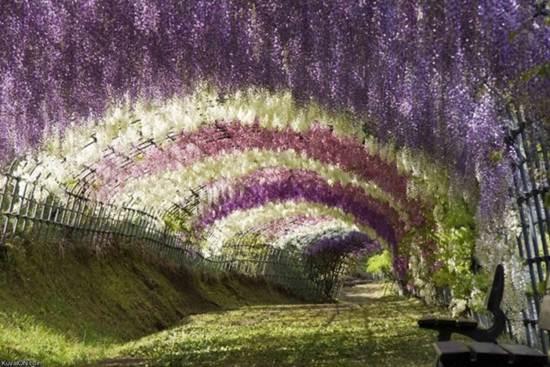 Mùa hoa tình yêu ở xứ Phù Tang - 1