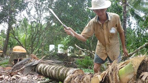 Nông dân Bến Tre ồ ạt chặt dừa - 1