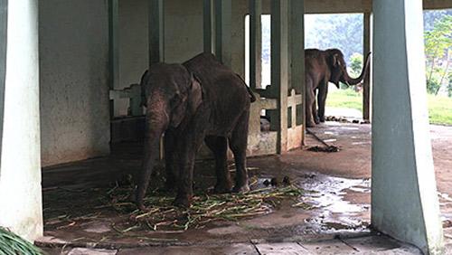 Voi đực 1 ngà vườn thú Thủ Lệ đã chết - 1