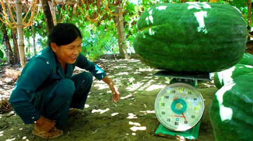 Bí đao khổng lồ ở Việt Nam - 1