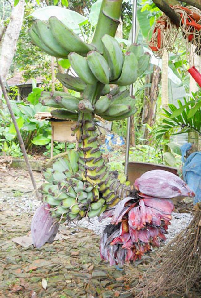 Buồng chuối này xuất hiện tại xóm Long Đình, xã Sơn Trung, huyện Hương Sơn (Hà Tĩnh).