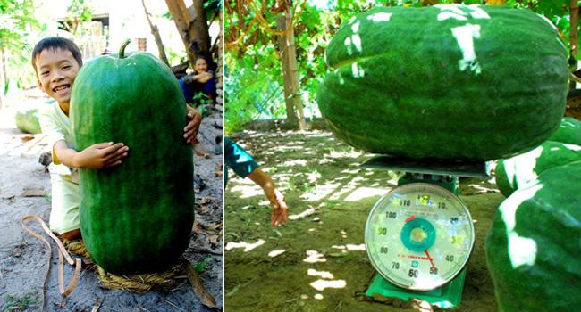 Bí đao khổng lồ này có trái nặng cả tạ.