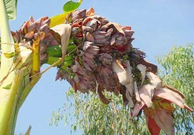 Cây chuối ở nhà ông Trần Quốc Cường (xã Hưng Điền B, huyện Tân Hưng, tỉnh Long An) ra hơn 100 hoa.