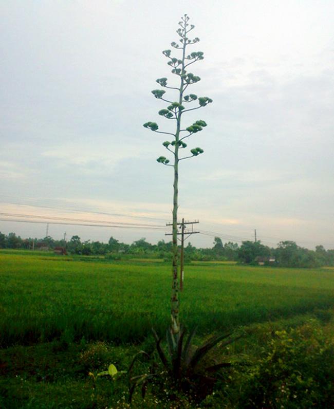 Cây dứa lạ ở xã Quỳnh Lâm, Quỳnh Lưu, Nghệ An bỗng dưng trổ hoa và cao lên tới gần 10m.