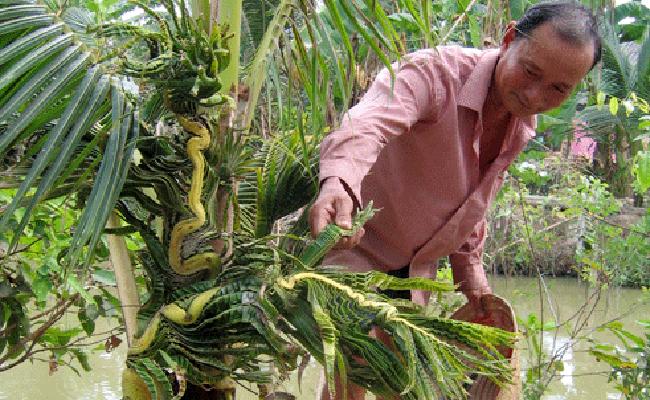 Đó là cây dừa trong vườn của ông Lê Văn Sĩ ở ấp 1 xã Mỹ Đông, huyện Tháp Mười, tỉnh Đồng Tháp.