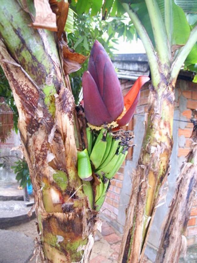 Chuối trổ hoa giữa thân ở nhà ông Đỗ Xuân Thân, ở xã An Chấn, huyện Tuy An, Phú Yên.