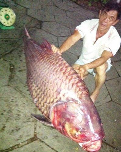 Bắt được cá hô nặng 130kg - 1