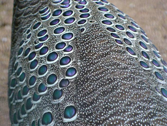 Loài gà này có hình thể cân đối, bộ lông màu xám điểm những đốm tròn màu xanh tím rất bắt mắt.
