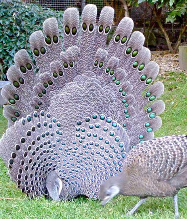 Đặc biệt, giống như chim công, chiếc đuôi của gà tiền mặt vàng cũng có thể xòe ra như một chiếc quạt lộng lẫy khi chúng muốn khoe mẽ với con cái.