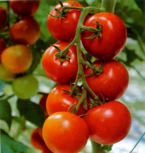 Đàn ông nên ăn nhiều cà chua - 1