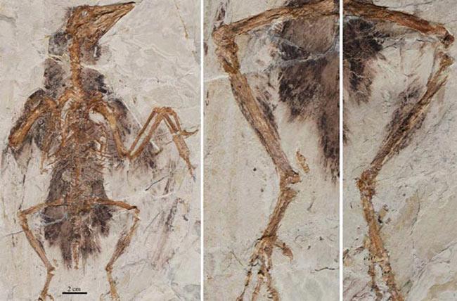 """Khủng long 4 cánh. Trước đây, chúng ta đều cho rằng một vài loài khủng long biết bay, nhưng chúng chỉ có 2 cánh. Thực tế thì khủng long bay có 4 cánh. """"Những loài chim đầu tiên là hậu duệ của loài khủng long 4 cánh""""- Xing Xu, một giáo sư thuộc Học viện Khoa học Trung Quốc cho hay."""