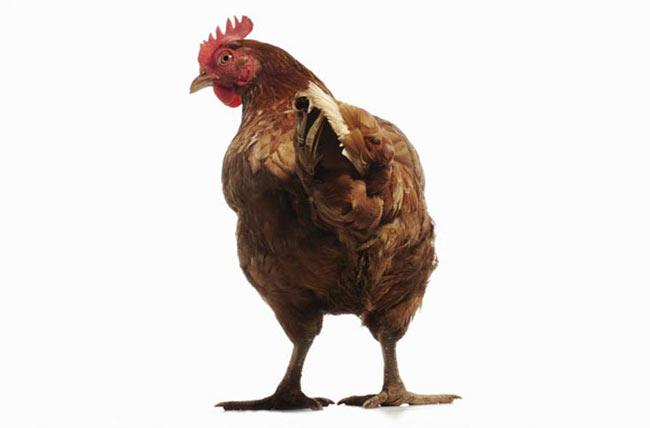 """Khủng long gà. Nhà cổ sinh vật Jack Horner và đồng nghiệp đã phân tích gen của gà để tìm hiểu về nguồn gốc của chúng, và họ phát hiện rằng đuôi dài là một trong những đặc điểm có liên quan đến khủng long. """"Chim cũng là khủng long""""- Horner cho biết."""