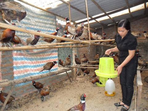 Chim trĩ cũng dương tính cúm A/H5N1 - 1