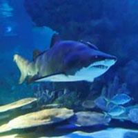 Bào thai cá mập hổ ăn thịt nhau trong bụng mẹ