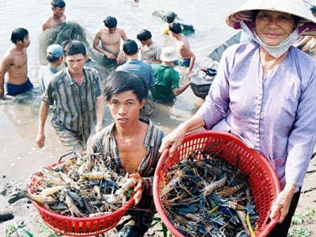 Tôm tươi Việt Nam bị nhiều nước cấm nhập - 1