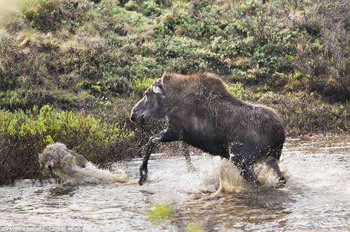Nai mẹ một mình chống lại bầy sói, bảo vệ con - 1