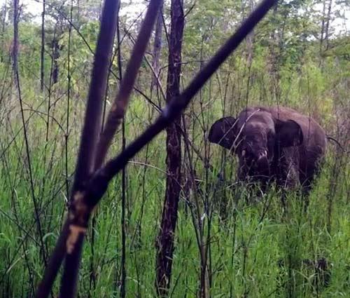 Giải cứu voi rừng dính bẫy thợ săn - 1