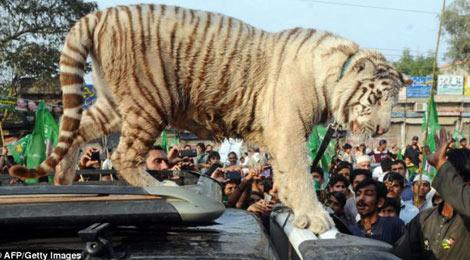 Pakistan: Hổ trắng chết vì vận động tranh cử - 1