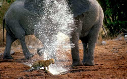 Ảnh đẹp: Voi phun nước xua đuổi báo - 1