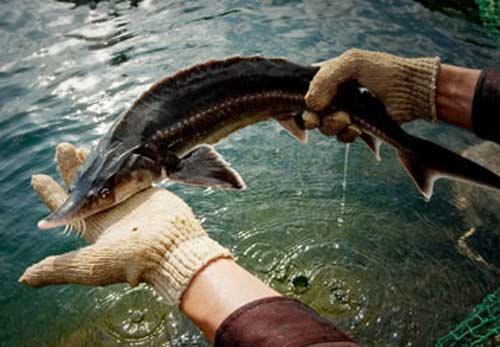 Hại đủ đường từ cá tầm nhập lậu - 1