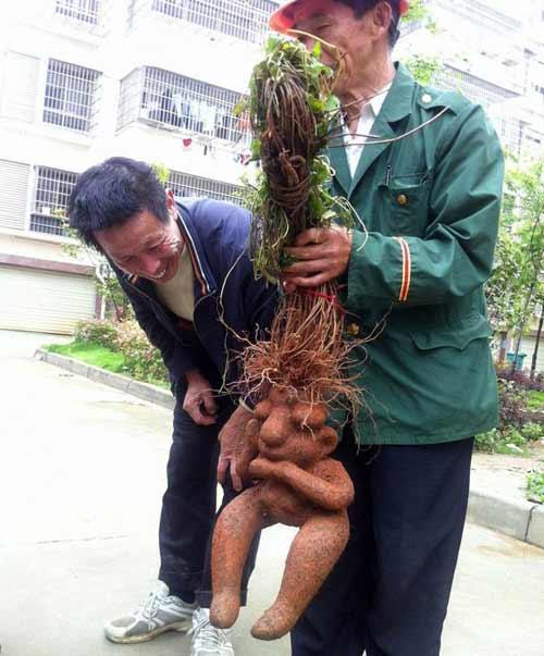 Cặp rễ cây hà thủ ô có hình dáng nam nữ kỳ lạ - 1