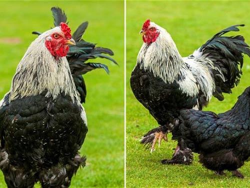 Chú gà cao nhất thế giới nhờ ăn bỏng ngô - 1