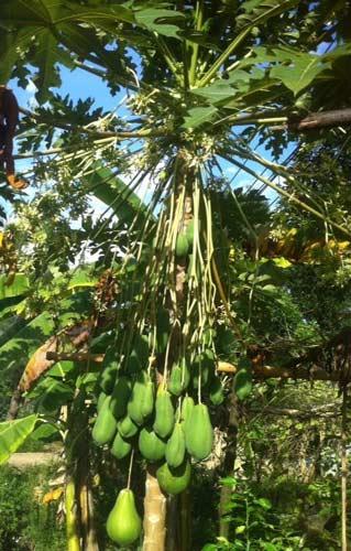 Đổ xô xem cây đu đủ đực ra hàng trăm quả - 1