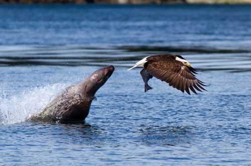 Ảnh đẹp: Sư tử biển cướp cá của đại bàng - 1