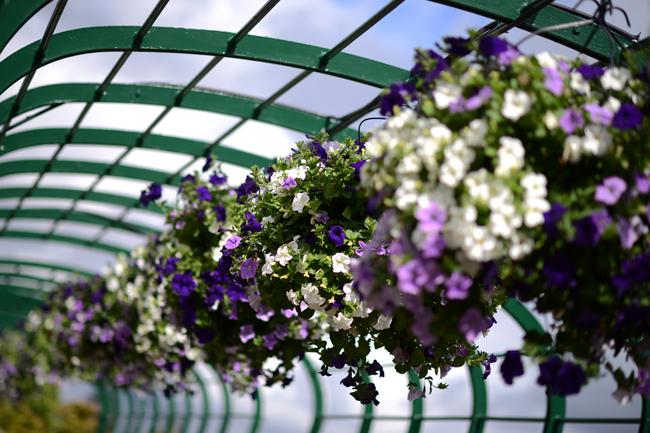 Những dàn hoa màu trắng và tím tại All England Lawn Tennis và Croquet Club cũng là những màu sắc truyền thống của Wimbledon.