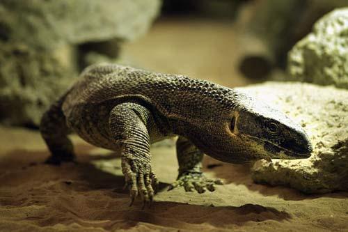 Video: Bắt thằn lằn to bằng cá sấu ở TQ - 1
