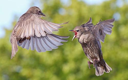 Ảnh đẹp: Chim sáo đánh nhau tranh thức ăn - 1