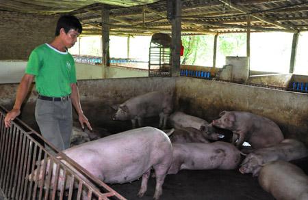Miền Bắc: Giá lợn tăng, chủ trại vẫn lỗ - 1